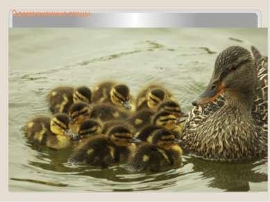 Одомашненные птицы Утка домашняя ведёт своё начало от обыкновенной дикой утки...