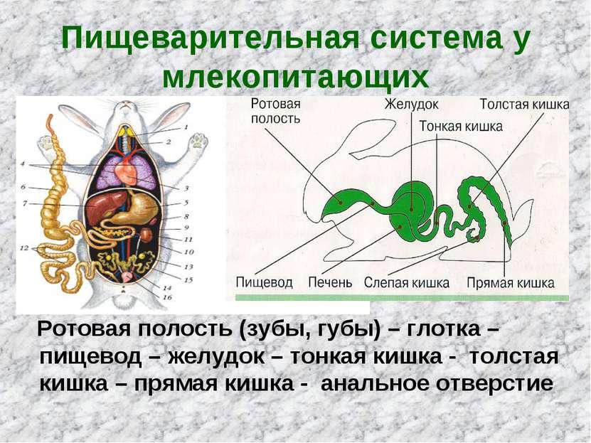 Пищеварительная система у млекопитающих Ротовая полость (зубы, губы) – глотка...
