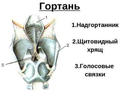 Гортань 1.Надгортанник 2.Щитовидный хрящ 3.Голосовые связки