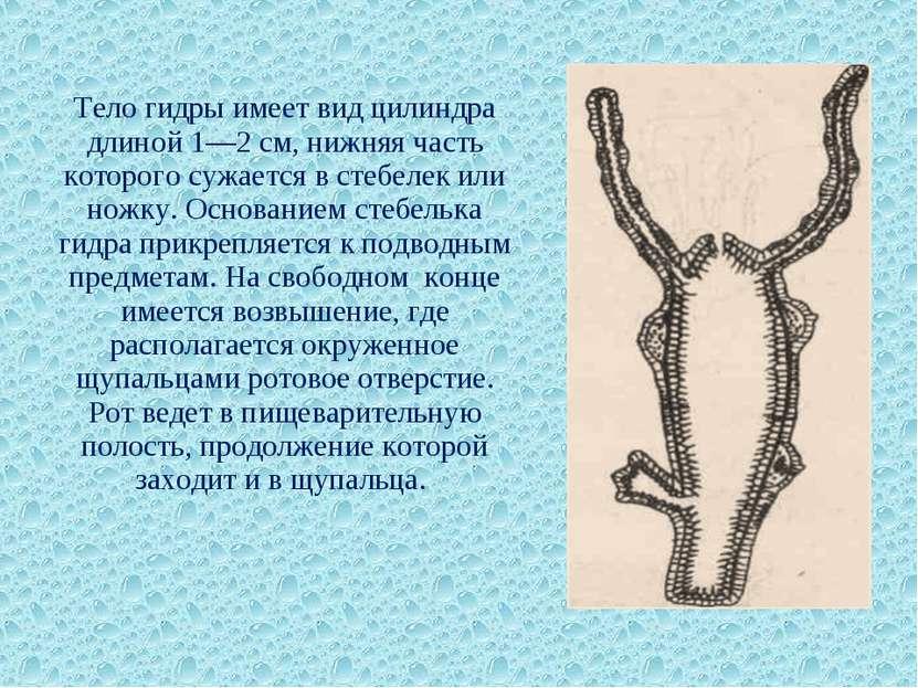 Тело гидры имеет вид цилиндра длиной 1—2 см, нижняя часть которого сужается в...