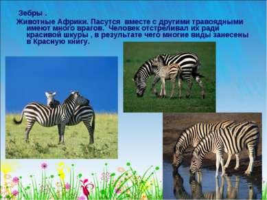 Зебры . Животные Африки. Пасутся вместе с другими травоядными имеют много вра...