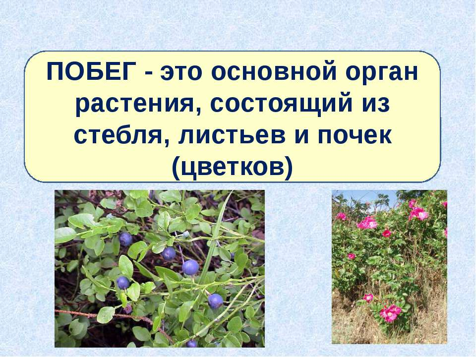 ПОБЕГ - это основной орган растения, состоящий из стебля, листьев и почек (цв...