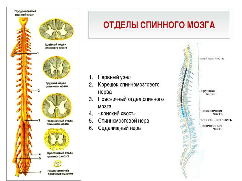 ОТДЕЛЫ СПИННОГО МОЗГА Нервный узел Корешок спинномозгового нерва Поясничный о...