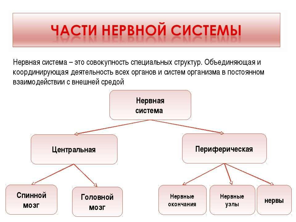 Нервная система Центральная Периферическая Спинной мозг Головной мозг Нервные...