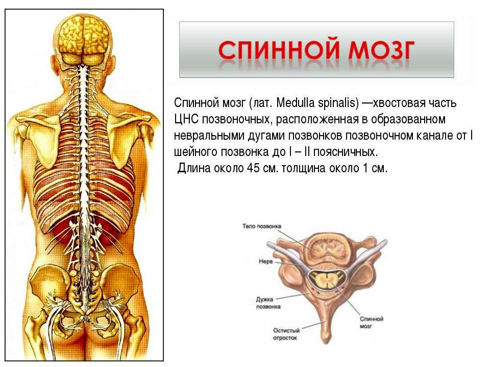 Спинной мозг (лат. Medulla spinalis) —хвостовая часть ЦНС позвоночных, распол...