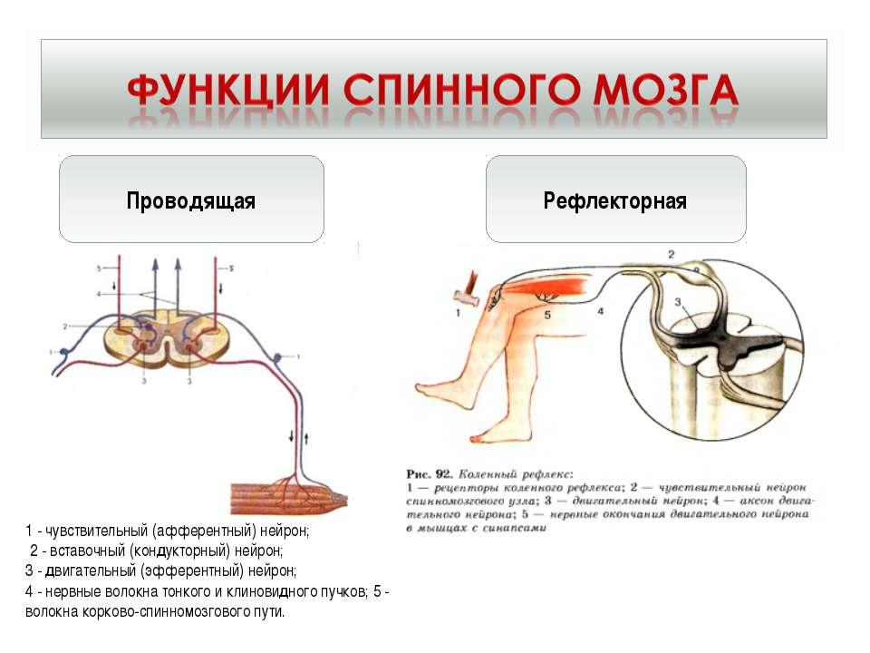 Проводящая Рефлекторная 1 - чувствительный (афферентный) нейрон; 2 - вставочн...