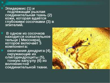 Эпидермис (1) и подлежащая рыхлая соединительная ткань (2) кожи, которая вдаё...
