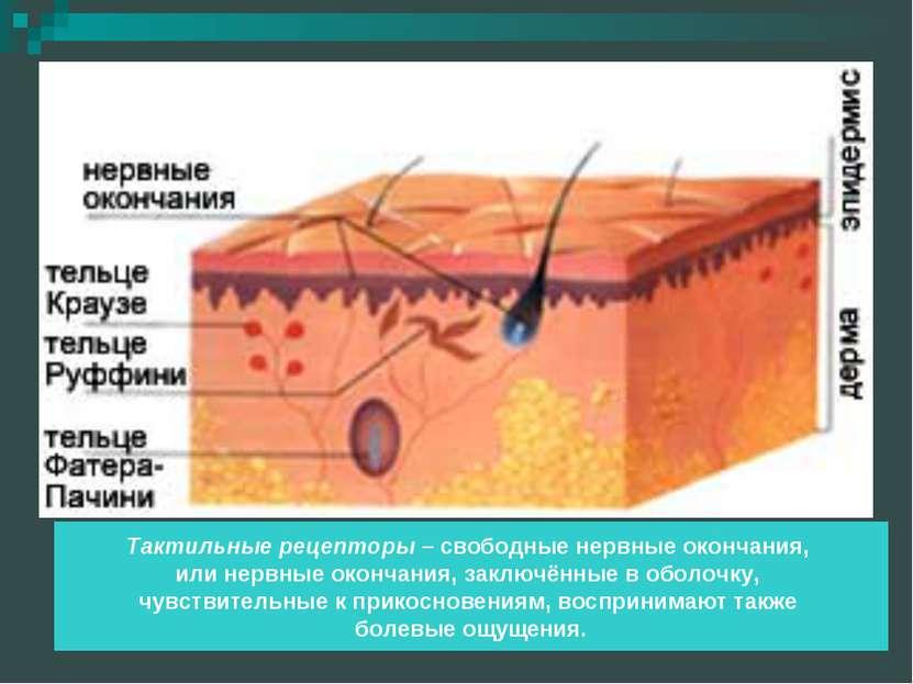 Тактильные рецепторы – свободные нервные окончания, или нервные окончания, за...