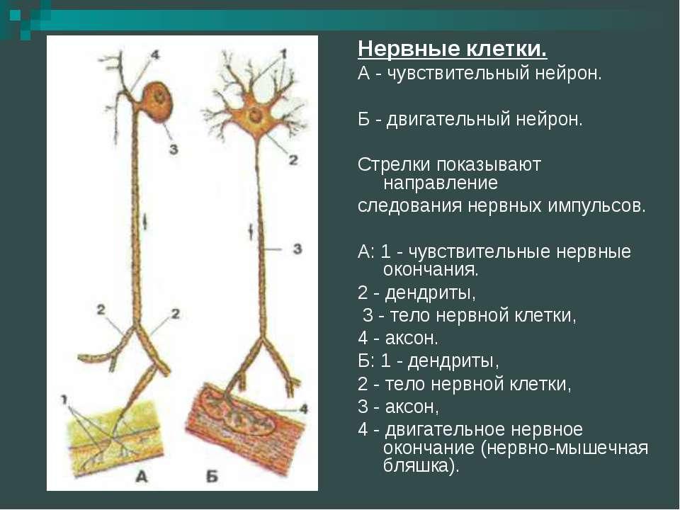 Нервные клетки. А - чувствительный нейрон. Б - двигательный нейрон. Стрелки п...