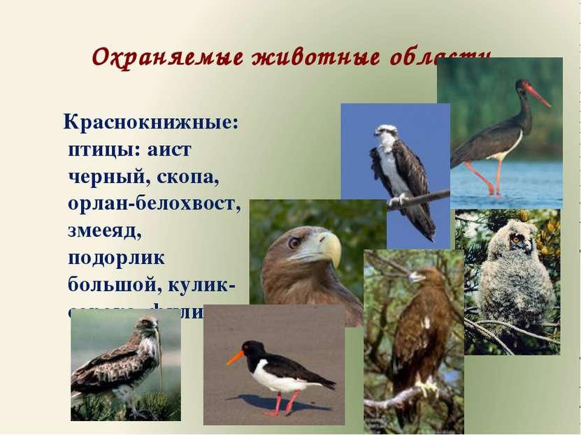 Охраняемые животные области Краснокнижные: птицы: аист черный, скопа, орлан-б...