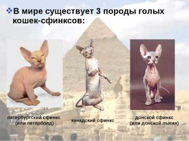 В мире существует 3 породы голых кошек-сфинксов: канадский сфинкс донской сфи...