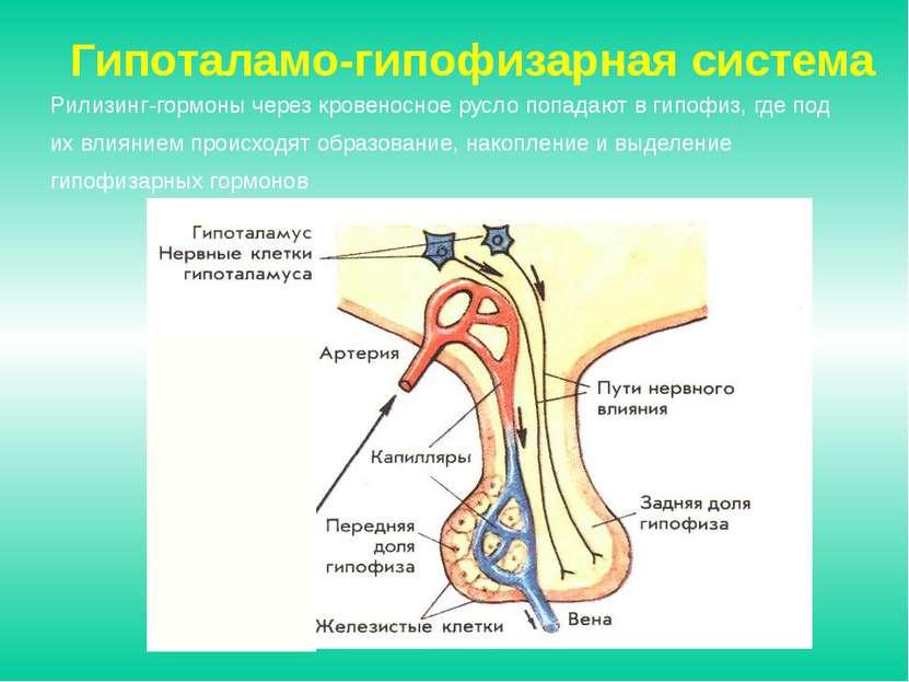 Рилизинг-гормоны через кровеносное русло попадают в гипофиз, где под их влиян...
