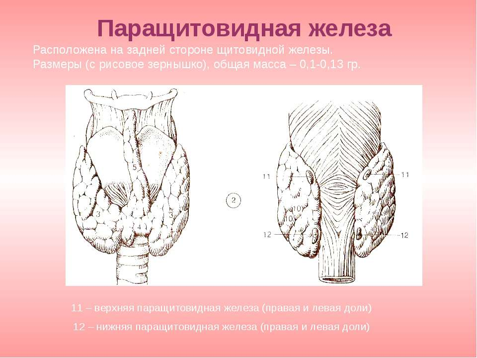 11 – верхняя паращитовидная железа (правая и левая доли) 12 – нижняя паращито...