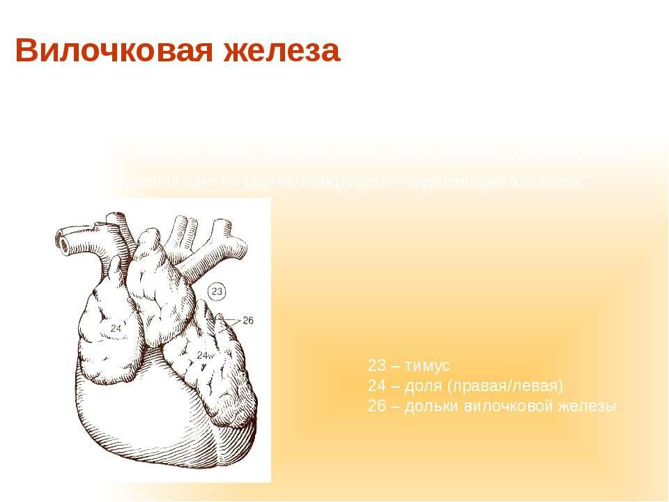 или тимус – орган иммунной системы. Расположен в грудной части и подвергается...