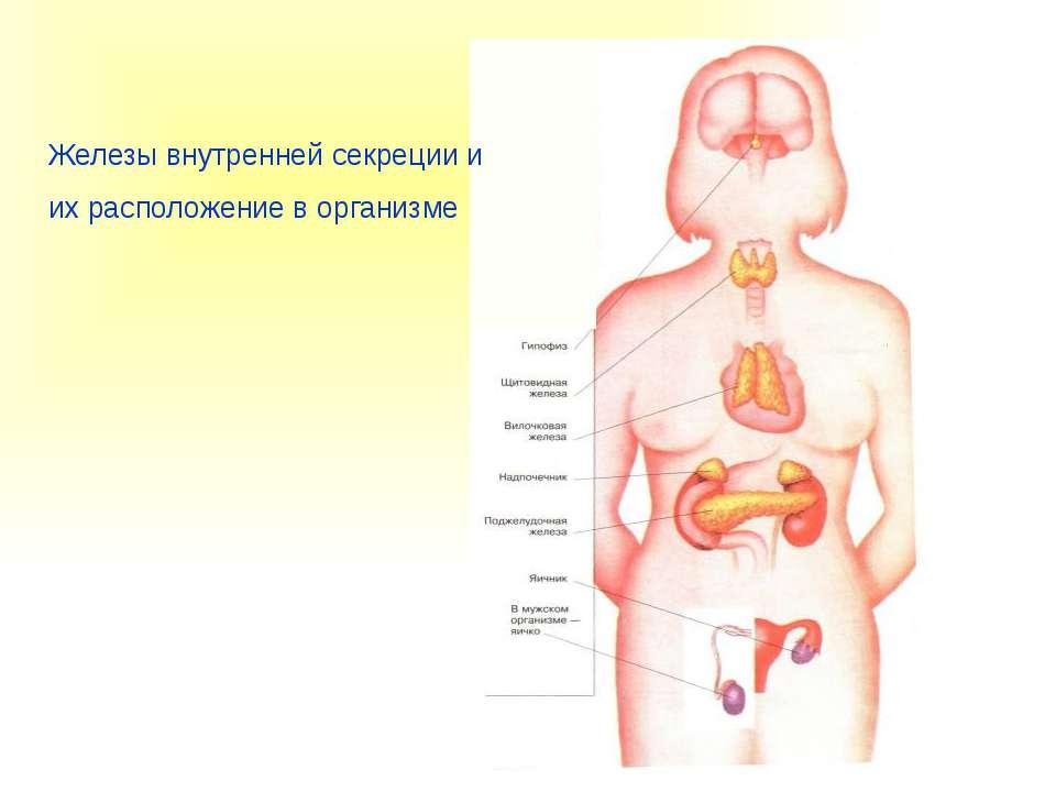 Железы внутренней секреции и их расположение в организме