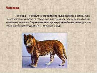 Левопард Левопард – это результат скрещивание самца леопарда с самкой льва. Г...