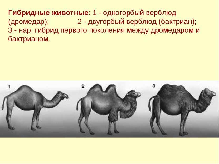 Гибридные животные: 1 - одногорбый верблюд (дромедар); 2 - двугорбый верблюд ...