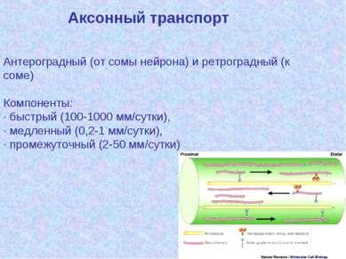 Аксонный транспорт Антероградный (от сомы нейрона) и ретроградный (к соме) Ко...