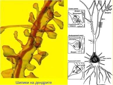 Шипики на дендрите
