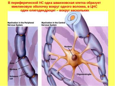 В периферической НС одна шванновская клетка образует миелиновую оболочку вокр...