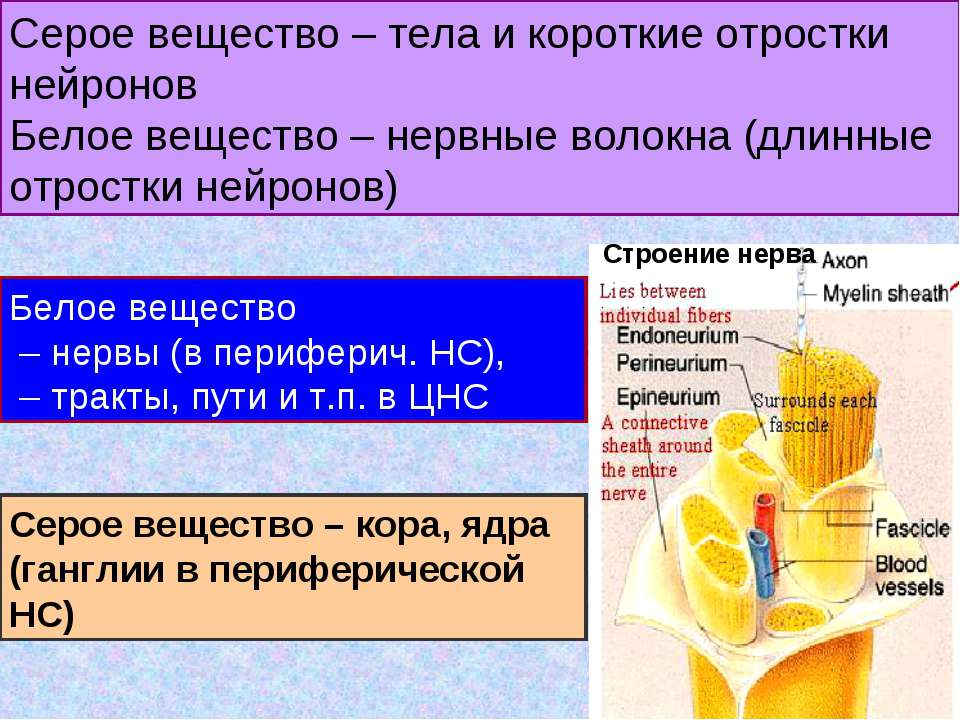 Серое вещество – тела и короткие отростки нейронов Белое вещество – нервные в...