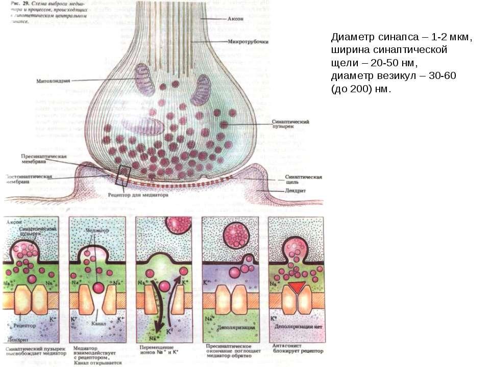 Диаметр синапса – 1-2 мкм, ширина синаптической щели – 20-50 нм, диаметр вези...