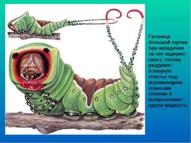 Гусеница большой гарпии при нападении на нее задирает хвост, голову раздувает...