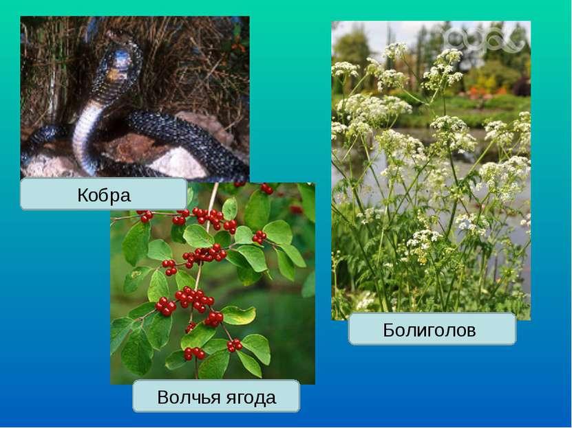Волчья ягода Болиголов Кобра