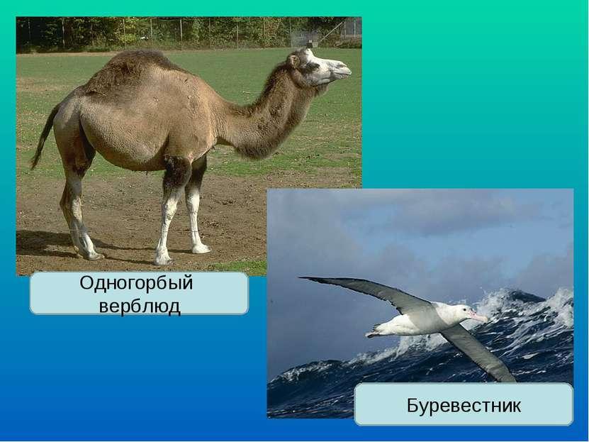 Одногорбый верблюд Буревестник