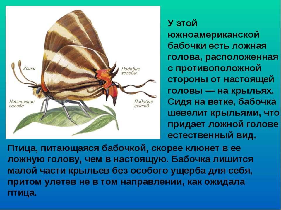 У этой южноамериканской бабочки есть ложная голова, расположенная с противопо...