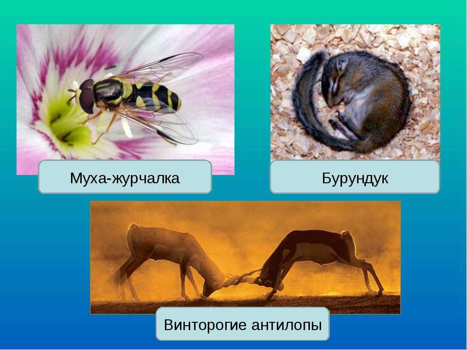 Муха-журчалка Бурундук Винторогие антилопы