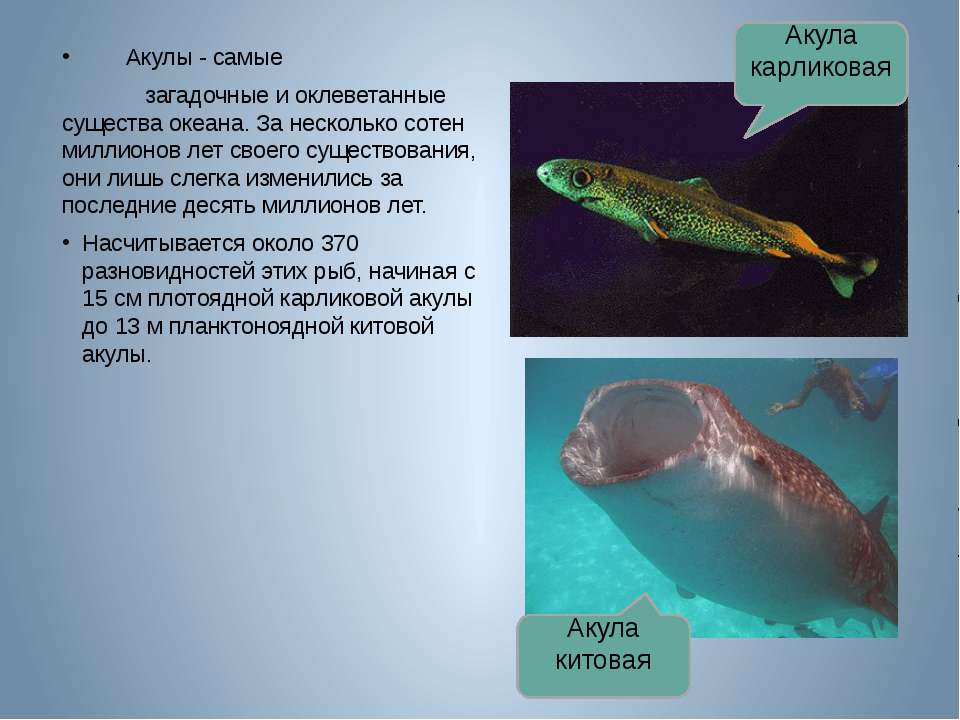 Акулы - самые загадочные и оклеветанные существа океана. За несколько сотен м...