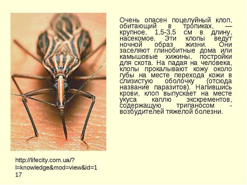 Очень опасен поцелуйный клоп, обитающий в тропиках, — крупное, 1,5-3,5 см в д...