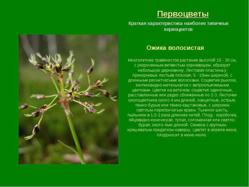 Первоцветы Ожика волосистая Краткая характеристика наиболее типичных первоцве...