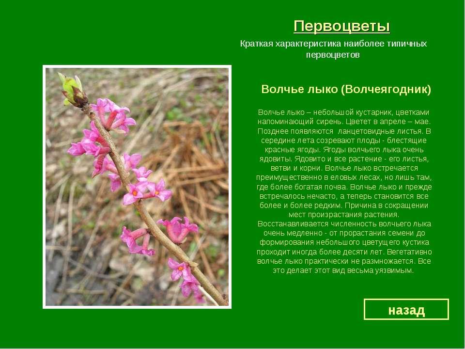 Первоцветы Волчье лыко (Волчеягодник) назад Краткая характеристика наиболее т...