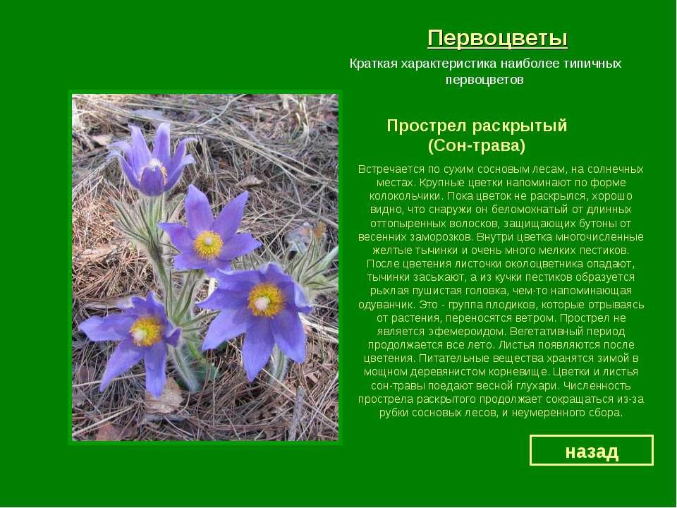 Первоцветы Прострел раскрытый (Сон-трава) назад Краткая характеристика наибол...
