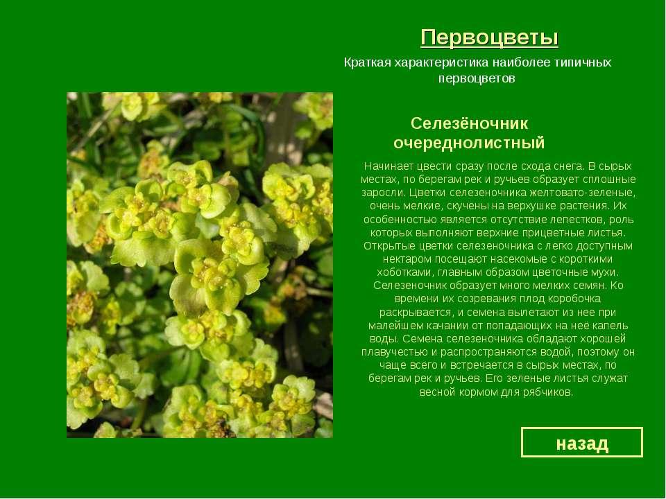 Первоцветы Селезёночник очереднолистный назад Краткая характеристика наиболее...