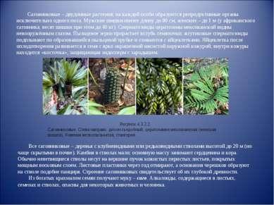 Саговниковые – двудомные растения; на каждой особи образуются репродуктивные ...