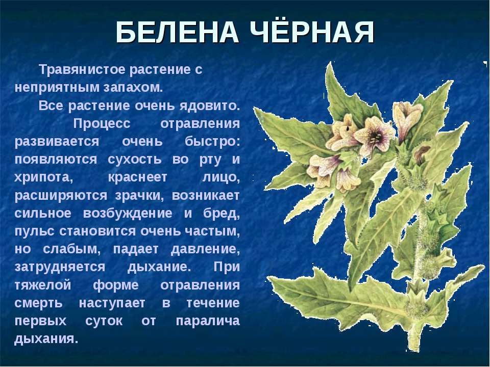БЕЛЕНА ЧЁРНАЯ Травянистое растение с неприятным запахом. Все растение очень я...