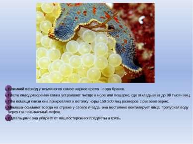 В зимний период у осьминогов самое жаркое время - пора браков. После оплодотв...