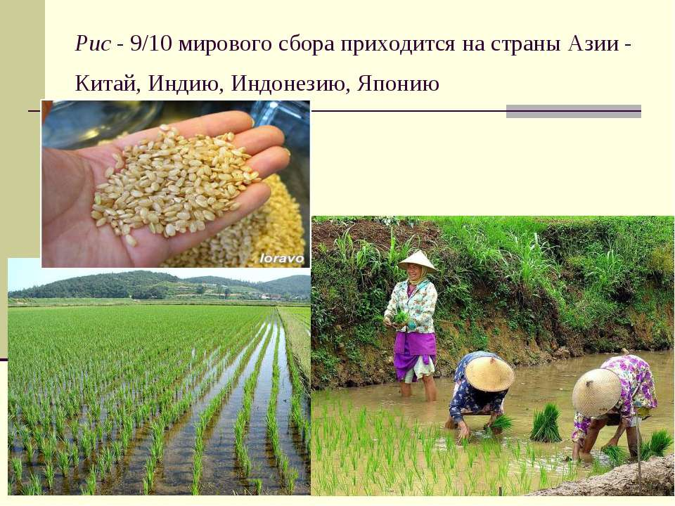 Рис - 9/10 мирового сбора приходится на страны Азии - Китай, Индию, Индонезию...