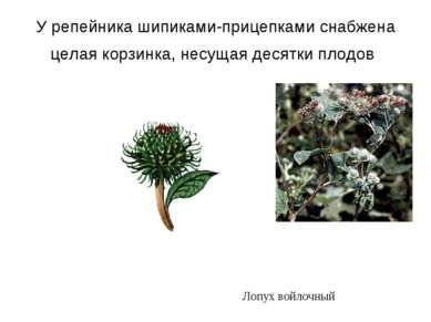 У репейника шипиками-прицепками снабжена целая корзинка, несущая десятки плод...