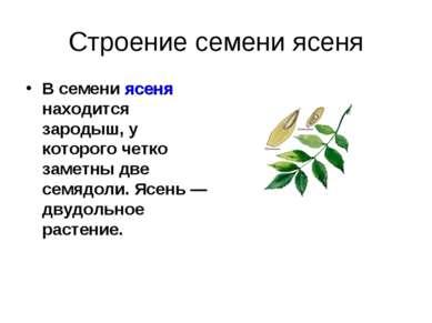 Строение семени ясеня В семени ясеня находится зародыш, у которого четко заме...