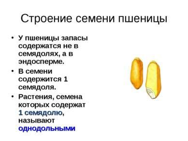Строение семени пшеницы У пшеницы запасы содержатся не в семядолях, а в эндос...