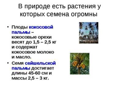В природе есть растения у которых семена огромны Плоды кокосовой пальмы – кок...