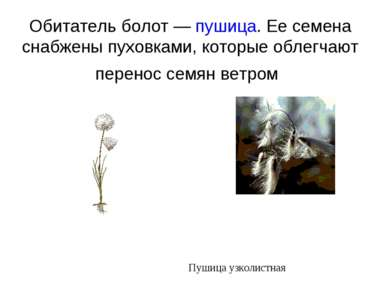 Обитатель болот — пушица. Ее семена снабжены пуховками, которые облегчают пер...