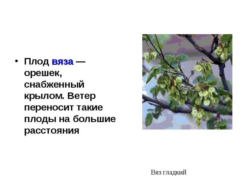 Плод вяза — орешек, снабженный крылом. Ветер переносит такие плоды на большие...