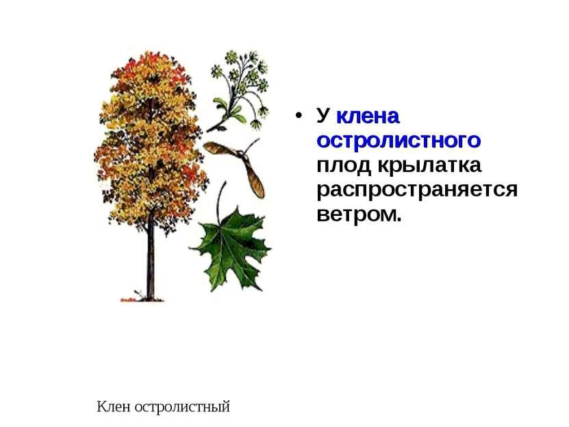 У клена остролистного плод крылатка распространяется ветром. Клен остролистный