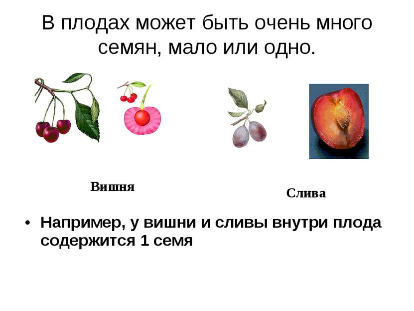 В плодах может быть очень много семян, мало или одно. Например, у вишни и сли...