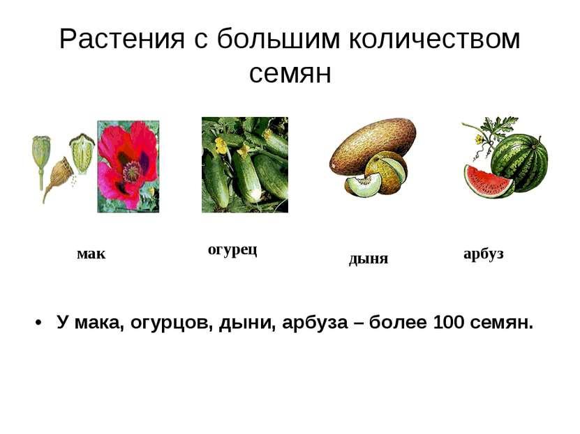 Растения с большим количеством семян У мака, огурцов, дыни, арбуза – более 10...